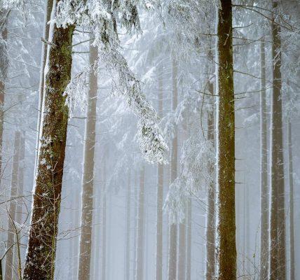Drzewa - śnieg